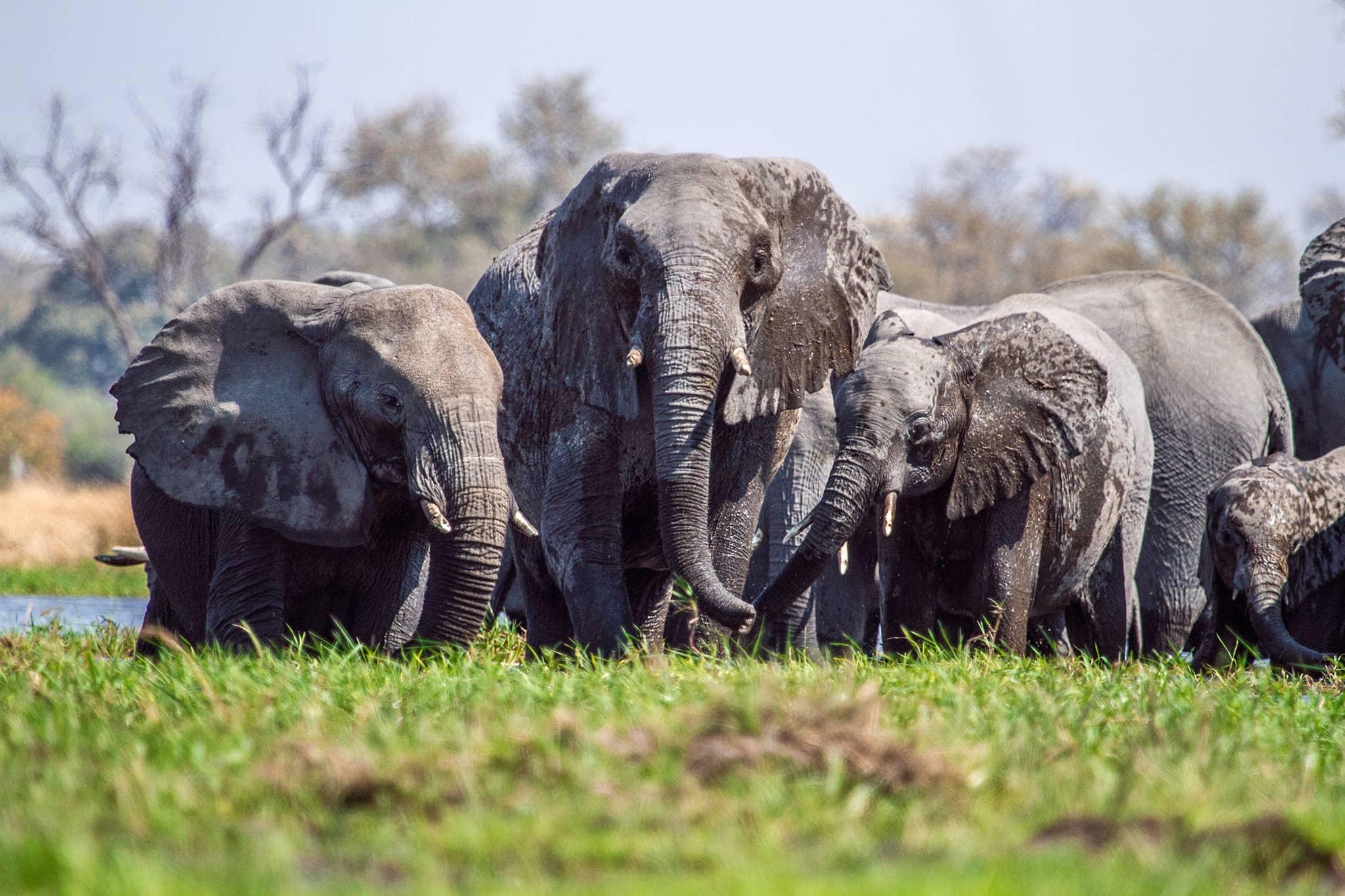 Muddy elephants in Machaba Camp Botswana Khwai Concession