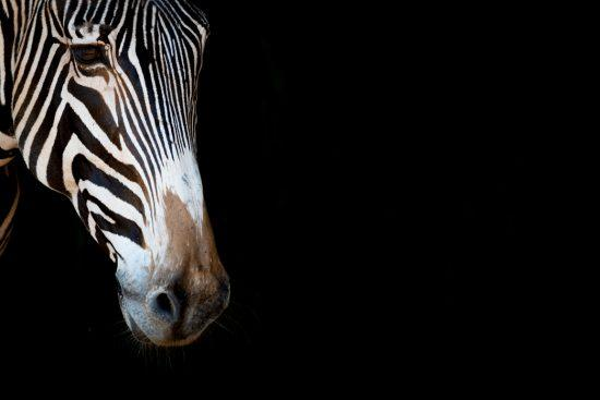 Grevy's zebra with a black background