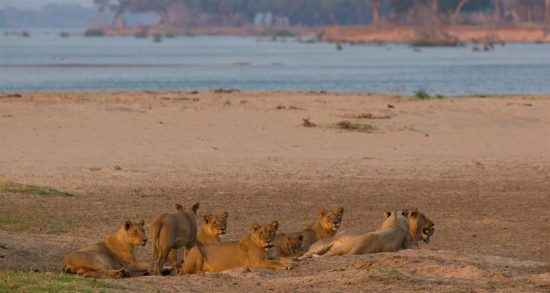 Löwenrudel am Sambesi-Fluss