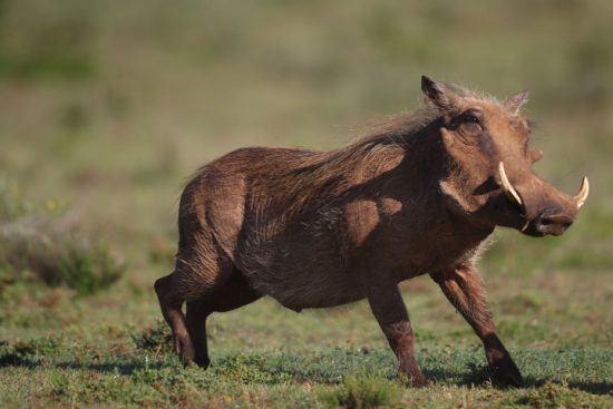 Ein Warzenschwein auf einer grünen Wiese