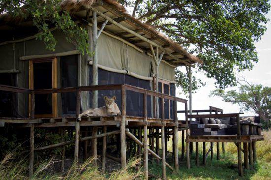 Eine Löwin macht es sich vor einem Luxuszelt des Shumba Camp gemütlich - faszinierende Unterkünfte in Sambia