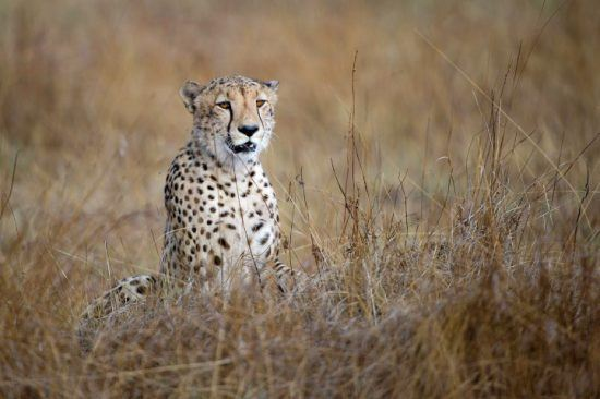Ein Gepard sitz im Gras der Savanne in Sambia