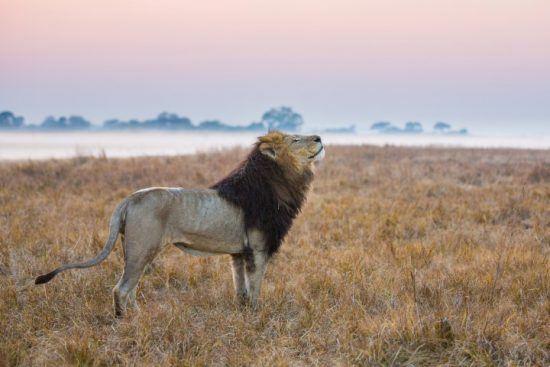 Ein imposanter Löwe bei Sonnenuntergang in der Nähe eines Flussufers in Sambia