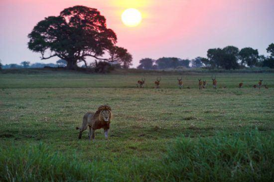 Ein Löwe schreitet bei Sonnenuntergang durch die grüne Graslandschaft in Sambia