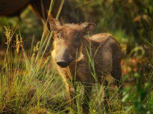 Bébé phacochère à la lumière du matin dans la savane Africaine.