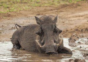Phacochère qui se roule dans la boue en Afrique pour se rafraîchir !