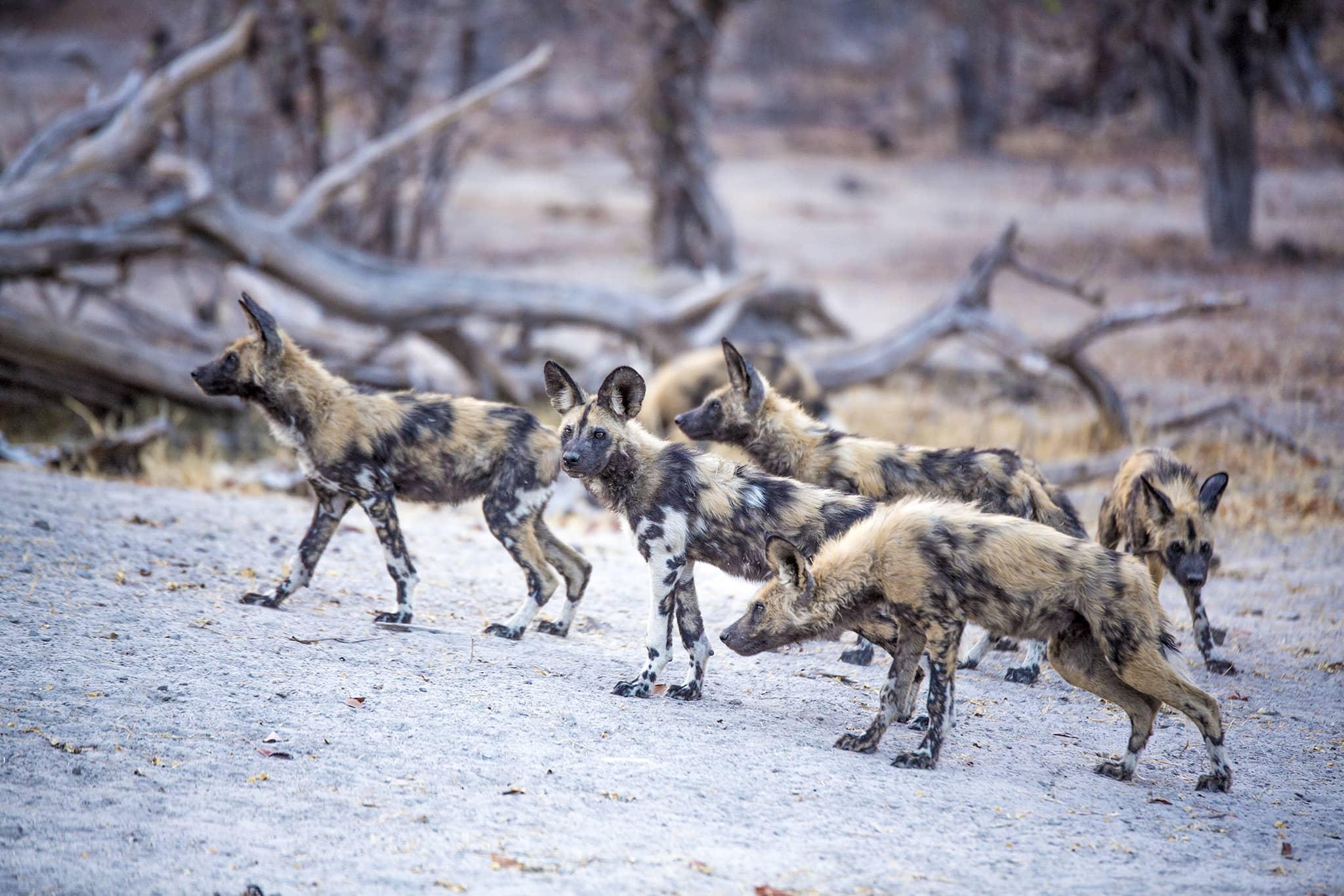 wild dog safaris Kings Pool Botswana