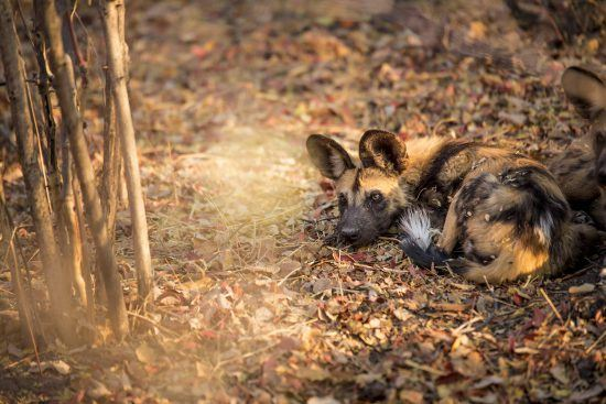 A Wild dog at Kings Pool, Botswana