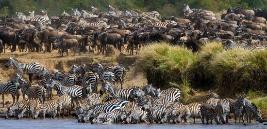 Zebras e gnus iniciam travessia de rio, Tanzânia
