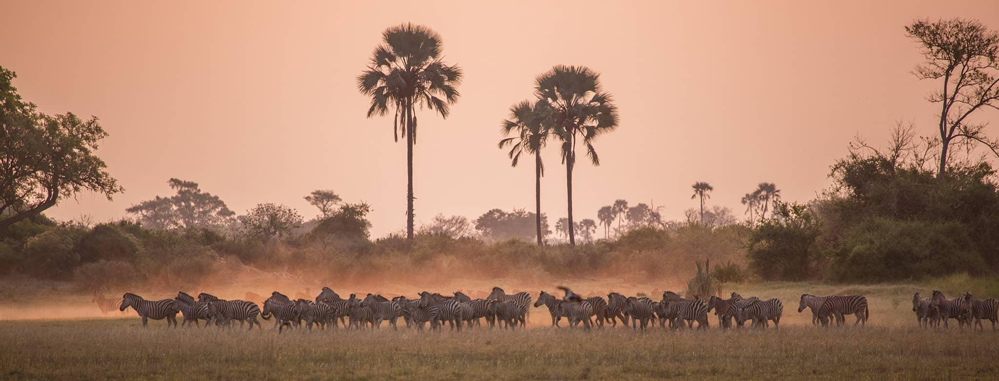 zebras sunset Mombo Camp Okavango Delta Botswana