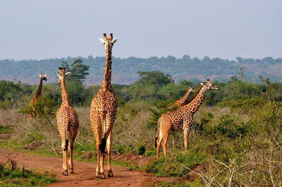 Giraffen in der Wildnis vom Akagera Nationalpark
