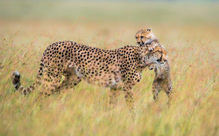 Guépard et son petit dans la savane africaine.
