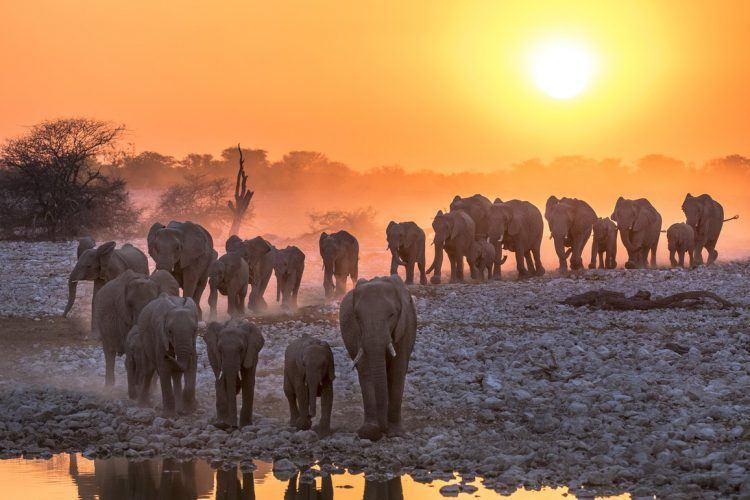 Sortie familiale et tribu d'éléphant à la nuit tombée dans la savane africaine.