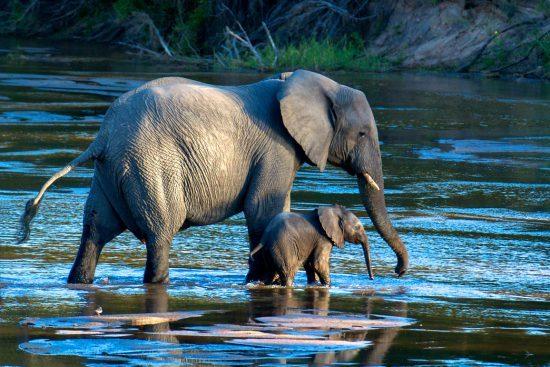 Elefantenmutter und Junges überqueren Fluss