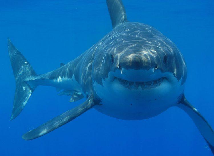Grand requin blanc dans les eaux de l'Afrique du Sud à Gansbaai