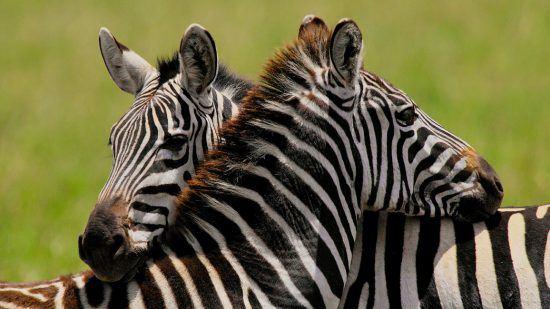 Zebras kuscheln Kopf an Kopf