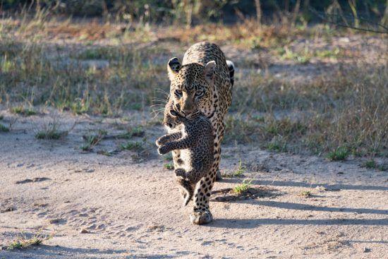 Leopardenmutter mit Baby