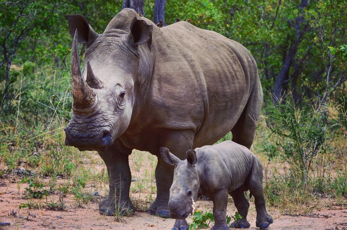 Nashornmutter mit Jungem in der Savanne
