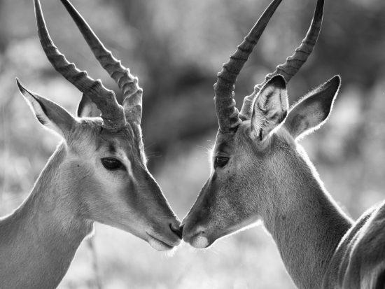 Antilopen geben sich ein Küsschen