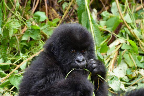 Un bébé gorille mangeant de l'herbe