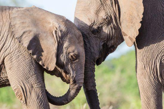 Elefanten strecken Köpfe zusammen