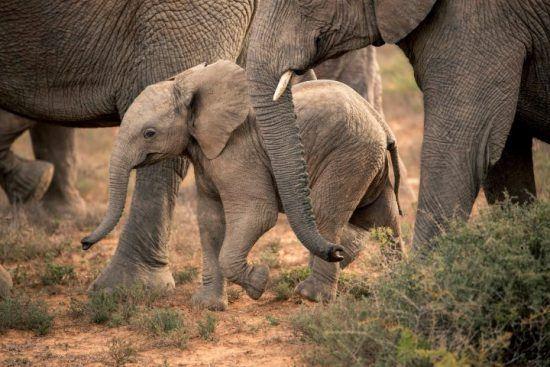 Ein Elefantenbaby läuft zwischen älteren Tieren durch den Busch