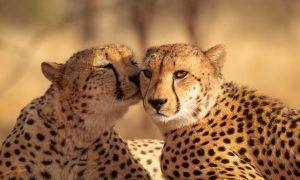 Les guépards se blottissent au soleil dans la savane en Afrique safari plan rapproché