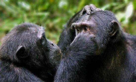 Ein Schimpanse reinigt das Gesicht eines Artgenossen