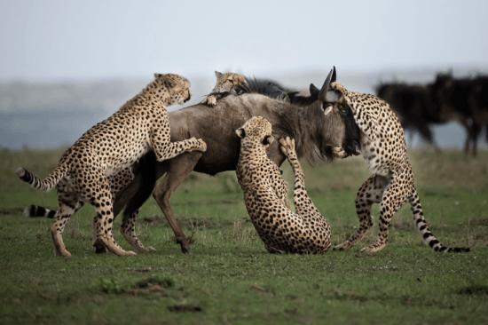 Quatro chitas atacam búfalo