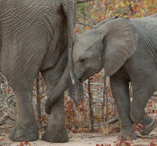 Elefantenjunges hält Mutter mit dem Rüssel