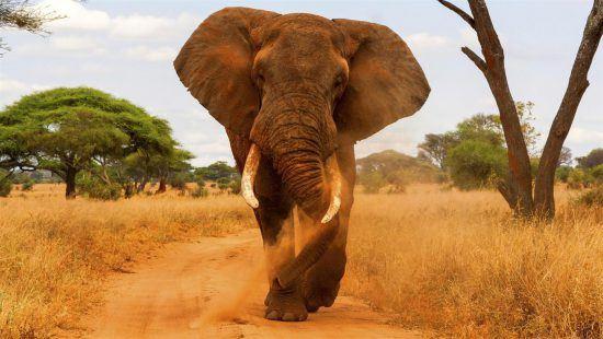 Elefantenbulle verteidigt sich