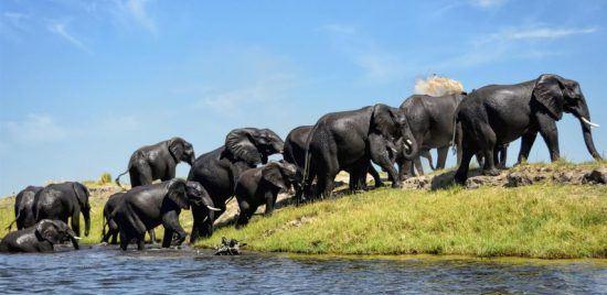 Eine Elefantenherde erreicht das grüne Ufer eines Flusses