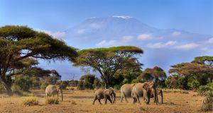 Éléphants avec le Kilimanjaro en toile de fond, Tanzanie
