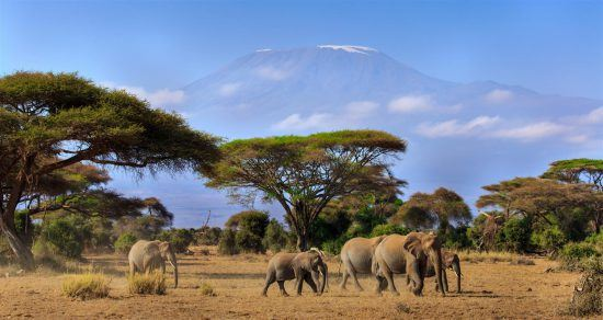 Elephants with Kilimanjaro in the background