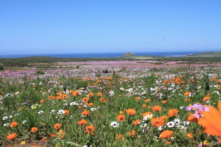Le lagon bleu topaze et l'arc-en-ciel de fleurs durant la saison des fleurs au West Coast National Park