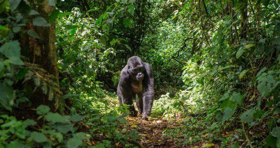Gorilla walking in the rainforest