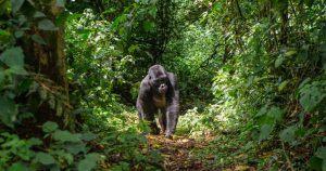 Gorille des montagnes au milieu d'une clairière en Ouganda