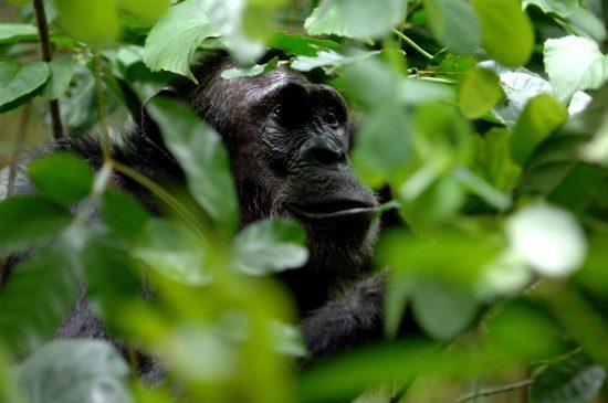 Schimpanse im dichten Busch