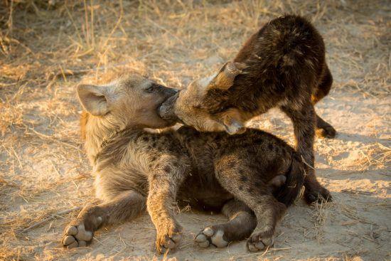 Las hienas cuidan de sus crias hasta que éstas alcanzan los cuatro años de edad. Crédito de foto: John Mullineux