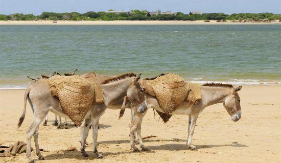 Donkeys walking on the Lamu Island, a beach in Kenya
