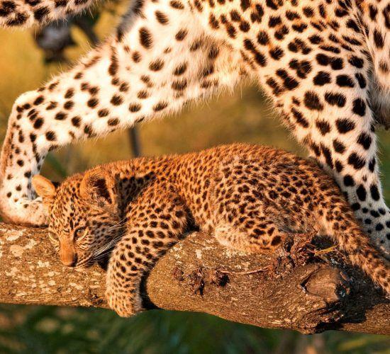 Bébé léopard et sa mère sur une branche.