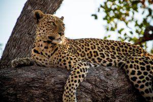 Leopardo descansando en la sabana