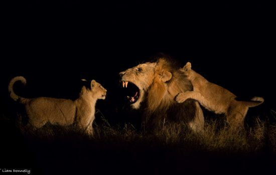 Löwe zeigt Jungen wie man richtig brüllt