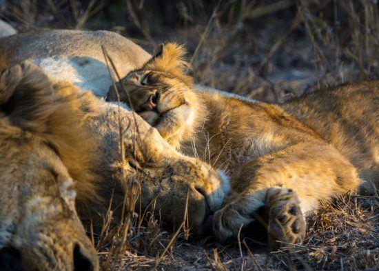 Löwen kuscheln sich in den Schlaf
