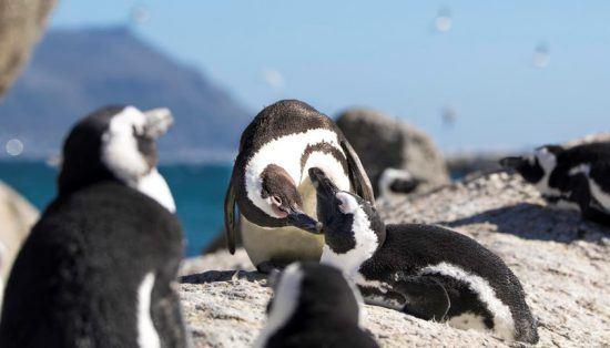 Pingüinos en Boulder's Beach