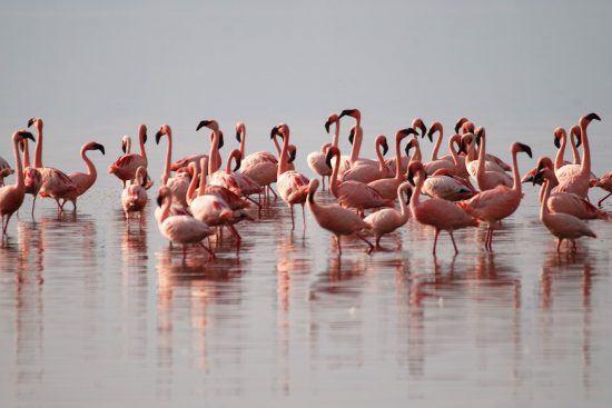 Pink flamingos in Tanzania