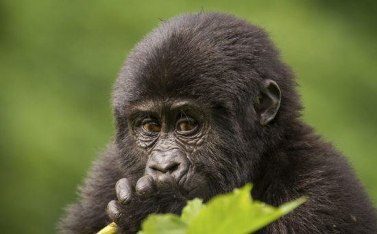 Nahaufnahme eines jungen Gorillas im Volcanoes Nationalpark