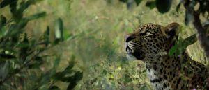 Leopard nahe der Silvan Safari Lodge im grünen Busch
