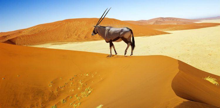 Oryx sur une dune du désert de Namib en Namibie