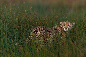 Guépard à l'affût dans les hautes herbes